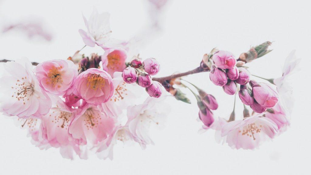 cherry blossoms, petals, nature