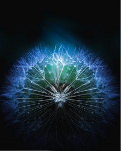 dandelion, plant, seeds
