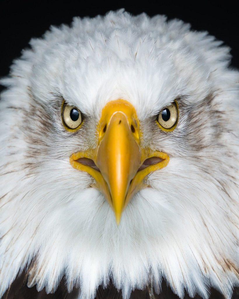 eagle, white, brown