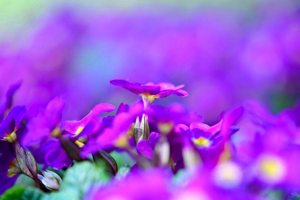 primrose, flower, spring
